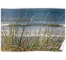 long dune grasses Poster