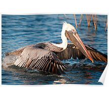 Brown Pelican Just Taking Off Poster