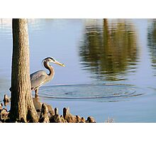Great Blue Heron with small catch Photographic Print