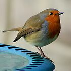 robin redbreast on the edge by bigjoeman07