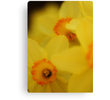 Bursting Daffodils Canvas Print