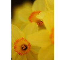 Bursting Daffodils Photographic Print