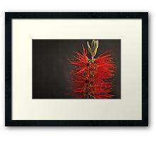 Crimson Bottle Brush Framed Print