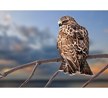 Rough Legged Hawk Photographic Print