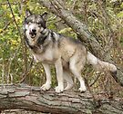 Ruedi the tree wolf by Anthony Brewer