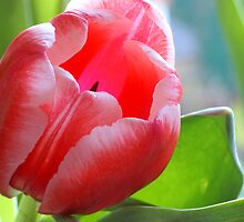 Bright tulip by walstraasart