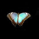 Butterfly on Black by Dorothy Thomson