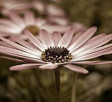 Vintage Daisy by Maria Dryfhout