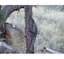 Goanna Photographic Print