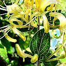 yellow honeysuckle by jashumbert