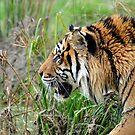 Tiger At The Orana Wildlife Park. Christchurch, South Island, New Zealand. by Ralph de Zilva
