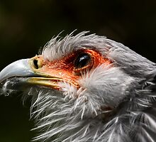 Portrait of a Secretary Bird by Mark Hughes