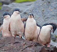 Pink Pingos (Adelie Penguin Chicks, South Orkneys) by Krys Bailey