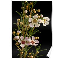 Geraldton Wax Flower Poster