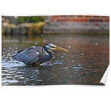Grey heron fishing Poster