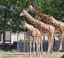 Giraffes - Chester Zoo by Audrey Clarke