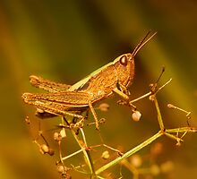 Grasshopper by Amaviael