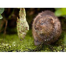 The Water Rat Photographic Print