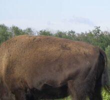 Bison Grazing, Elk Lake, Alberta, Canada Sticker