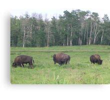 Bison Grazing 2, Elk Lake, Alberta, Canada Canvas Print