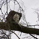 Bald Eagle eating its Fish by tcat757