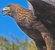 """Golden Eagle.. (Formerly known as """"Falcon!!"""")  by heatherfriedman"""