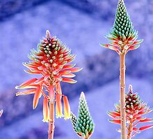 chameleon torch lilies by David Wheeler