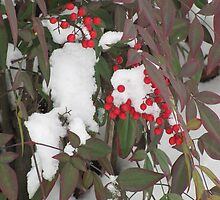 Snow Covered Nandina Bush - 2 by tmarie1