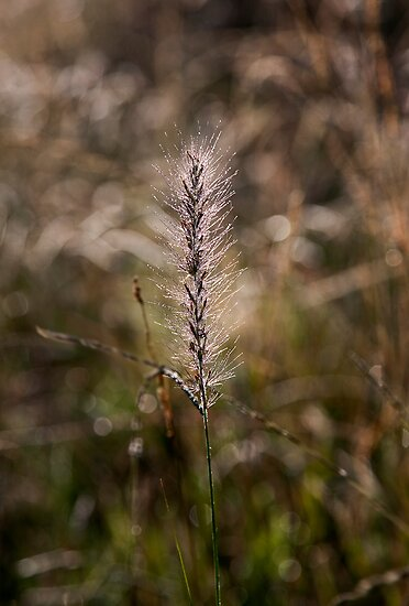 Grass Awn, Armidale Creek bank by Odille Esmonde-Morgan