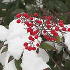 Snow Covered Nandina Bush - 3 by tmarie1