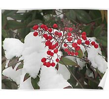 Snow Covered Nandina Bush - 3 Poster