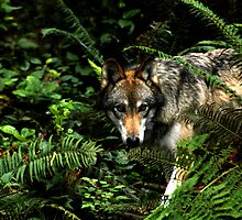 Forest Wolf (Canis lupus) by Maria A. Barnowl