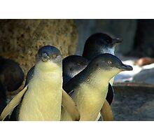 Little Penguins Photographic Print