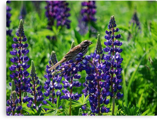 Sparrow Perched on the Lupine by Diane Blastorah