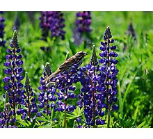 Sparrow Perched on the Lupine Photographic Print