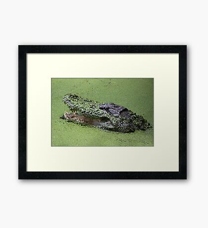 Gator in the Swamp Framed Print