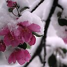 Snow Covered Apple Blossoms by Diane Blastorah
