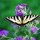 Swallowtail Butterfly by Diane Blastorah