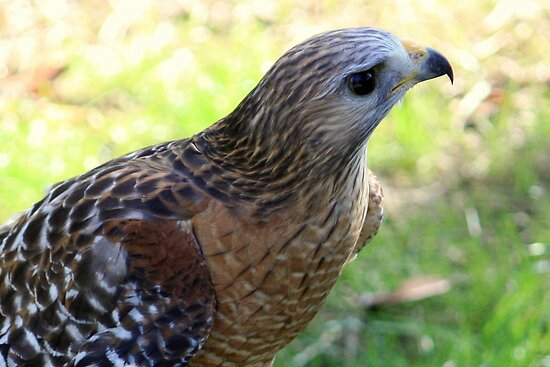 Red-Shouldered Hawk Up Close by AuntDot