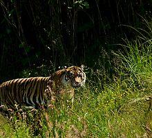Sumatran Female Tiger by Maria A. Barnowl