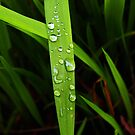 raindrops on grassblade by dedmanshootn
