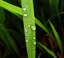 raindrops on grassblade by dedmanshootn