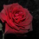 Rose's R Red by Carol Field
