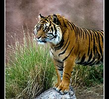 Tiger - - Posters & More by Maria A. Barnowl