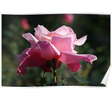 Blooming Rose Poster