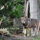 Red Wolf by Susan Vinson