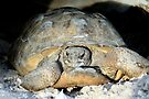 The Real Thing:  Gopher Tortoise by AuntDot
