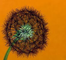 Orange Dandelion by Richard Majlinder