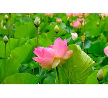 Lily Days...... Photographic Print