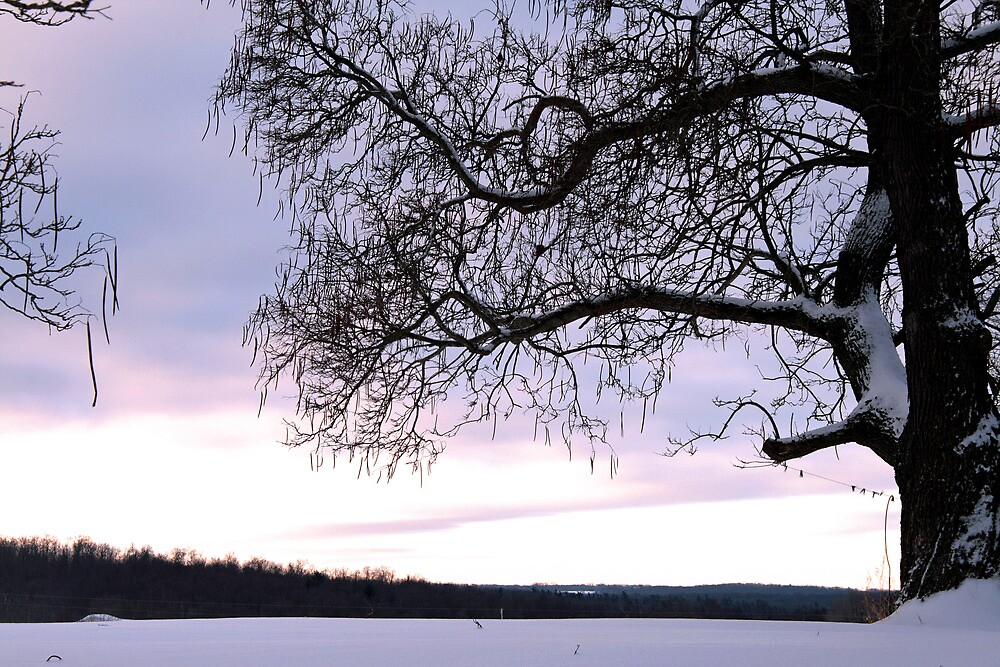 Twilight Bean Tree by Geno Rugh